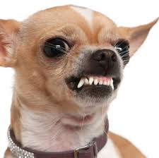 http://investorwize.com/wp-content/uploads/2015/10/mean-chihuahua.jpeg
